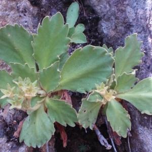 Photographie n°51284 du taxon Primula hirsuta All. [1773]