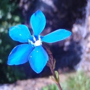 Photographie n°51298 du taxon Gentiana bavarica L.