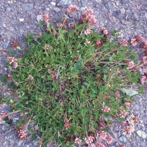 Photographie n°51299 du taxon Trifolium thalii Vill. [1779]