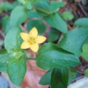 Photographie n°51304 du taxon Lysimachia nemorum L.