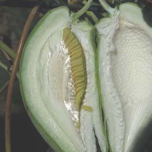 Photographie n°51316 du taxon Araujia sericifera Brot. [1818]