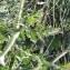 Andrine Faure - Daucus carota subsp. gummifer (Syme) Hook.f. [1884]