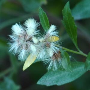 Photographie n°51405 du taxon Baccharis halimifolia L.