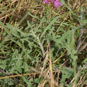 Photographie n°51422 du taxon Centaurea aspera L.