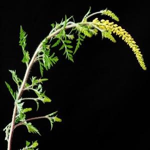 Photographie n°51432 du taxon Ambrosia artemisiifolia L.