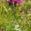 Jean-Jacques HoudrÉ - Dianthus sylvaticus Hoppe ex Willd.