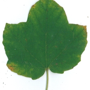 Photographie n°51519 du taxon Acer opalus Mill.