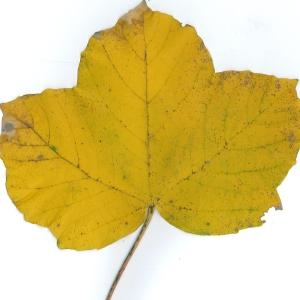 Photographie n°51529 du taxon Acer opalus Mill.