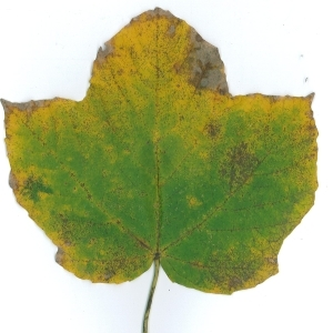 Photographie n°51532 du taxon Acer opalus Mill.