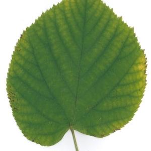 Photographie n°51543 du taxon Tilia platyphyllos Scop. [1771]