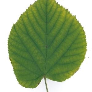 Photographie n°51544 du taxon Tilia platyphyllos Scop. [1771]