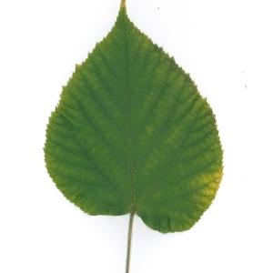 Photographie n°51545 du taxon Tilia platyphyllos Scop. [1771]