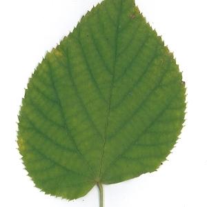Photographie n°51546 du taxon Tilia platyphyllos Scop. [1771]