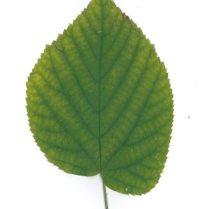 Photographie n°51547 du taxon Tilia platyphyllos Scop. [1771]
