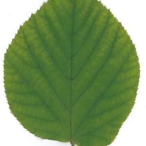 Photographie n°51548 du taxon Tilia platyphyllos Scop. [1771]