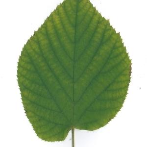 Photographie n°51549 du taxon Tilia platyphyllos Scop. [1771]