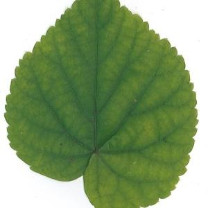 Photographie n°51550 du taxon Tilia platyphyllos Scop. [1771]