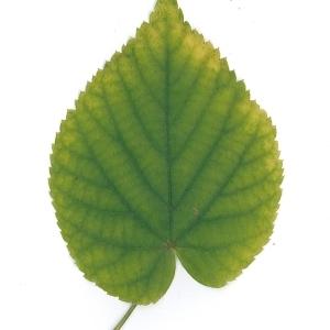 Photographie n°51551 du taxon Tilia platyphyllos Scop. [1771]
