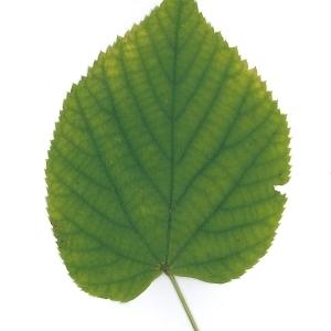 Photographie n°51552 du taxon Tilia platyphyllos Scop. [1771]
