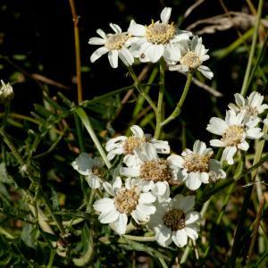 Photographie n°51569 du taxon Achillea ptarmica subsp. ptarmica