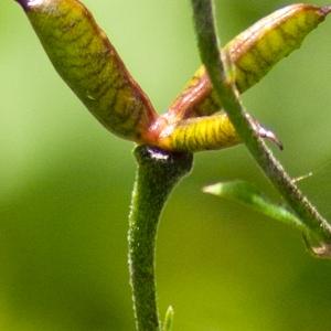 Photographie n°51584 du taxon Aconitum napellus L. [1753]