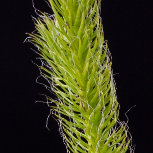 Photographie n°51617 du taxon Lycopodium clavatum L. [1753]