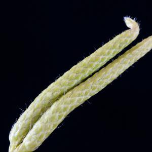 Photographie n°51618 du taxon Lycopodium clavatum L. [1753]
