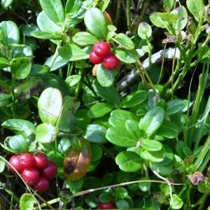 Photographie n°51652 du taxon Vaccinium vitis-idaea L. [1753]