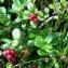 Genevieve Botti - Vaccinium vitis-idaea L. [1753]