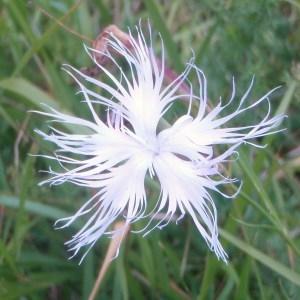Photographie n°51657 du taxon Dianthus superbus L.