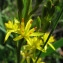 Catherine MAHYEUX - Narthecium ossifragum (L.) Huds.