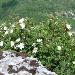 Photographie n°51734 du taxon Rosa pimpinellifolia L. [1759]
