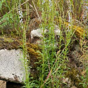 Photographie n°51744 du taxon Anarrhinum bellidifolium (L.) Willd.