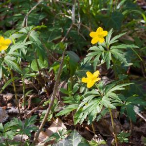 Photographie n°51748 du taxon Anemone ranunculoides L.
