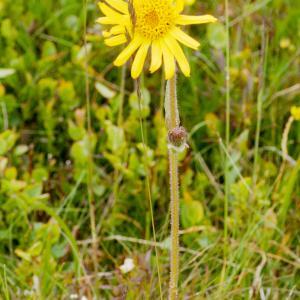 Photographie n°51816 du taxon Arnica montana L.