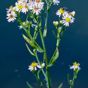 Photographie n°51830 du taxon Aster tripolium L.