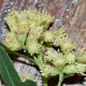 Photographie n°51840 du taxon Baccharis halimifolia L.