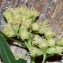 Jean-Jacques HoudrÉ - Baccharis halimifolia L.