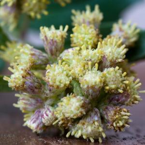 Photographie n°51841 du taxon Baccharis halimifolia L.