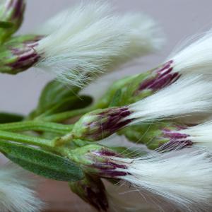 Photographie n°51842 du taxon Baccharis halimifolia L.