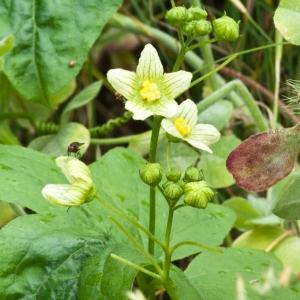 Photographie n°51852 du taxon Bryonia cretica subsp. dioica (Jacq.) Tutin [1968]