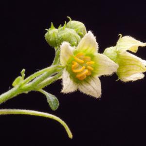 Photographie n°51853 du taxon Bryonia cretica subsp. dioica (Jacq.) Tutin [1968]