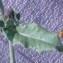 Genevieve Botti - Picris echioides L.