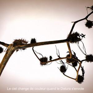 Photographie n°51886 du taxon Datura stramonium L.