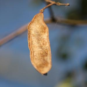 Photographie n°51893 du taxon Robinia pseudoacacia L.