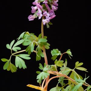 Photographie n°52003 du taxon Corydalis solida (L.) Clairv.