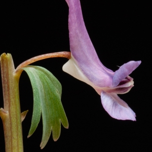 Photographie n°52004 du taxon Corydalis solida (L.) Clairv.