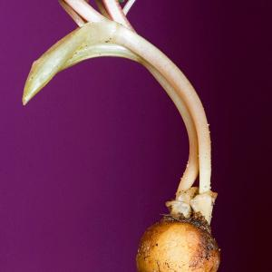 Photographie n°52006 du taxon Corydalis solida (L.) Clairv.