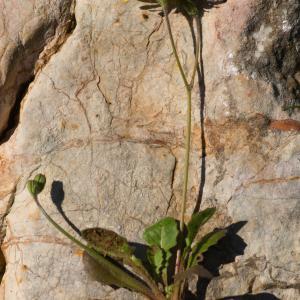 Photographie n°52015 du taxon Crepis sancta subsp. nemausensis (Vill.) Babc. [1941]