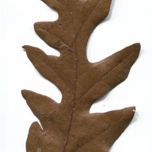 Photographie n°52076 du taxon Quercus cerris L. [1753]